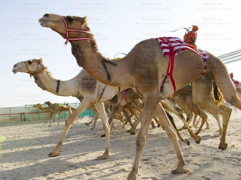 Верблюжьи бега в Абу-Даби