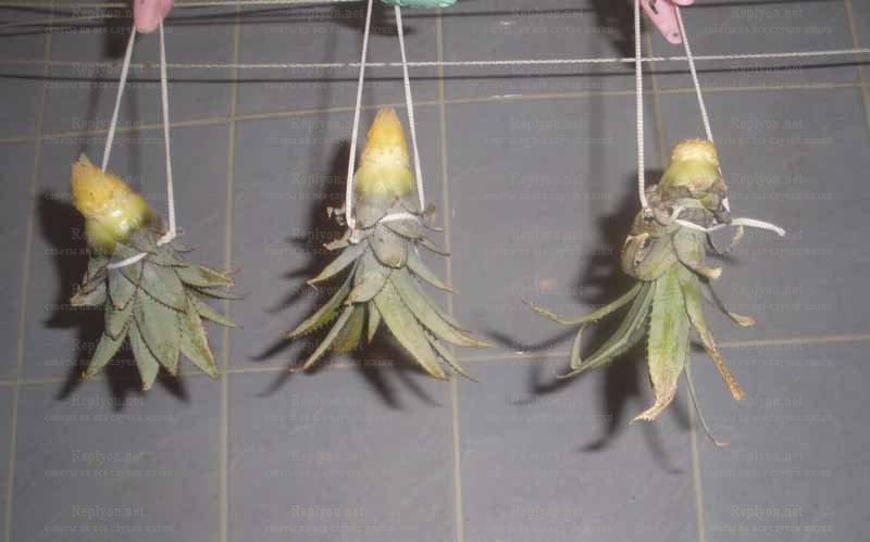 Высушивание верхушки ананаса