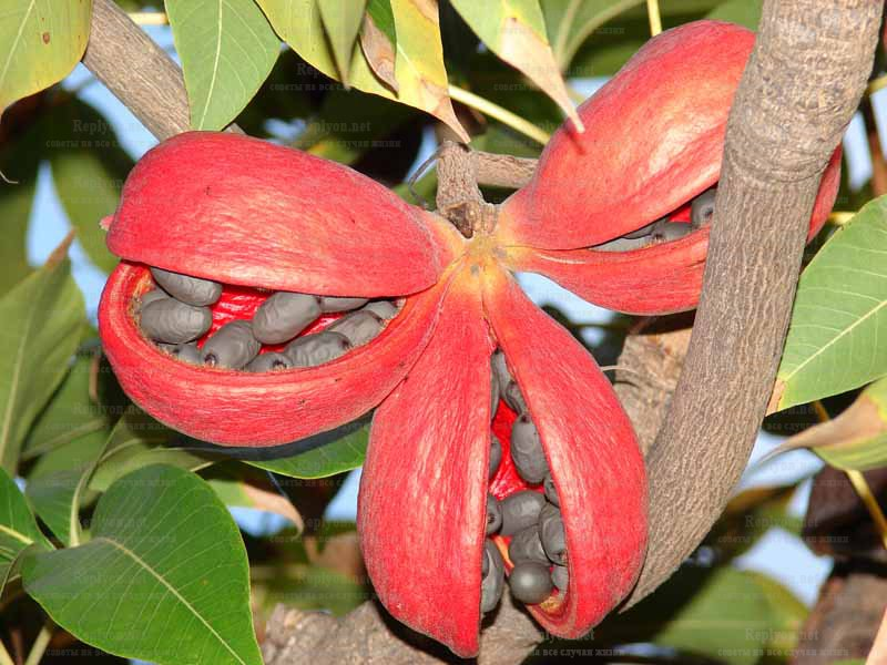 Стеркулия (Sterculia)
