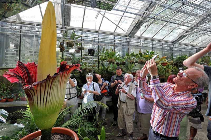 Аморфофаллус титанический, «Трупный цветок» самый крупный вонючий цветок
