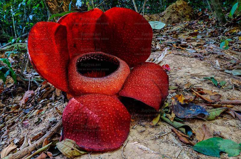 Вонючий комнатный цветок - TheFlowers