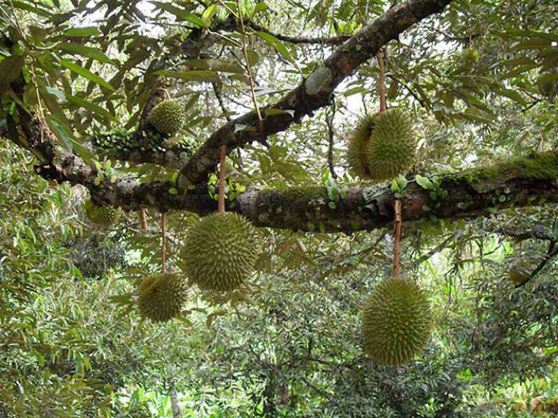 Дерево Дуриан