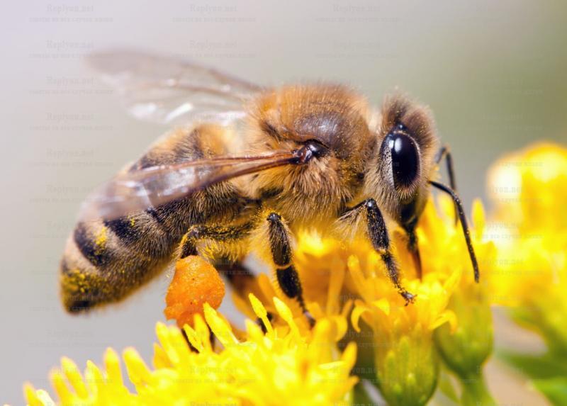 Зачем пчелы делают мед