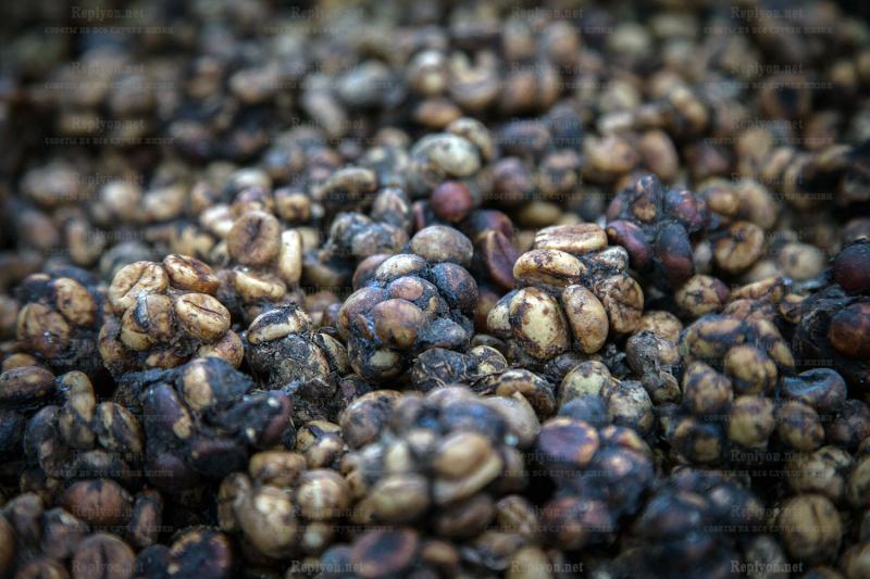 Самый дорогой кофе из помета