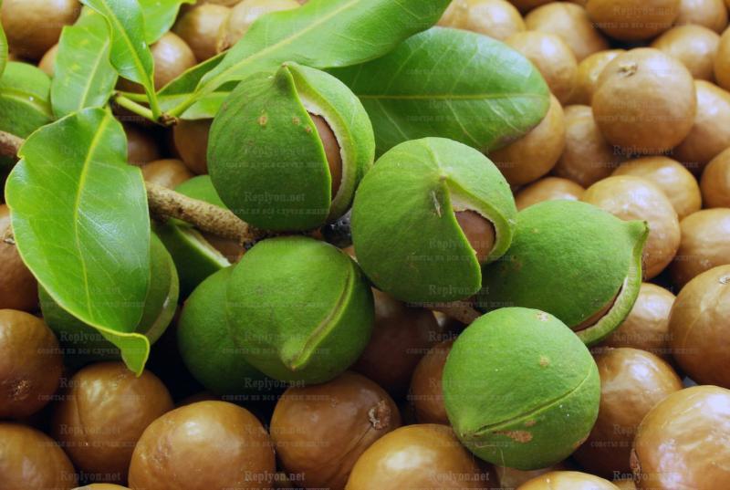 Самый дорогой орех Макадамия